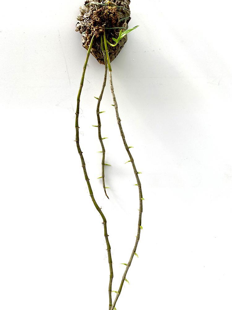 Dendrobium transparens